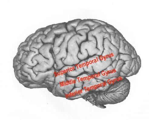 temporal lobe, Human Body